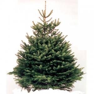 Norway Spruce 100 - 125cm