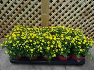 Chrysanthemum In Variety
