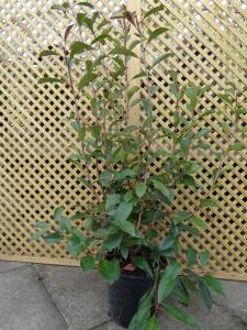 Photinia Fraseri Red Robin  120 - 150cm  10 LITRE