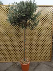 Olea Europea   Standard  130 - 140cm