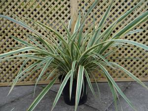 Phormium Tenex Tricolor 5 LITRE