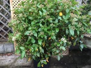 Viburnum Tinus   60 - 90cm   25 LITRE