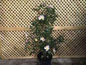 Camellia Sasanqua   80 -90cm   POT GROWN