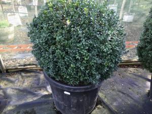 Buxus Sempervirens Ball   70cm   POT GROWN