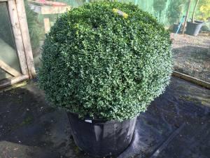 Buxus Sempervirens Ball  90cm   Pot Grown