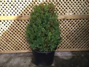 Buxus Sempervirens Bush  80 - 90cm   POT GROWN