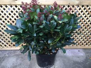 Skimmia Japonica Rubella  40 - 50cm  POT GROWN