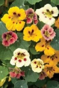 Nasturtium Ladybird Mix   Per Pack