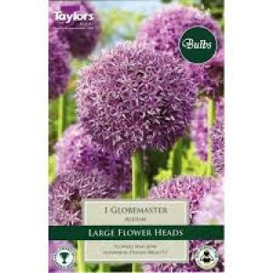 Allium Globemater Each