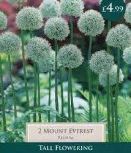 Allium Mount Everest Each