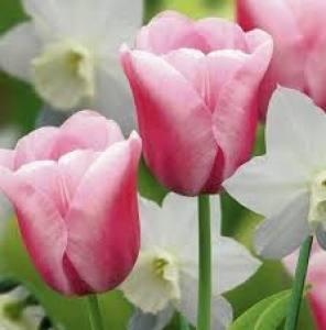 Tulip Synaeda Amor  Each