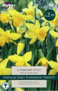 Narcissi February Gold Each