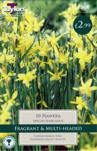 Narcissi Hawera  Each