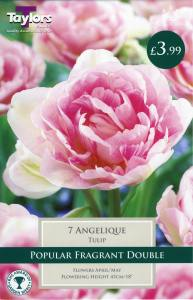Tulip Angelique  Each
