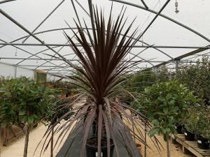 Cordyline Australis Purpurea  125 - 150cm    25 LITRE