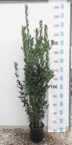 Laurus Nobilis  200 - 250cm 18 LITRE