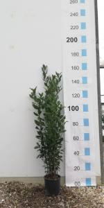 Laurus Nobilis  100 - 125cm  5 LITRE