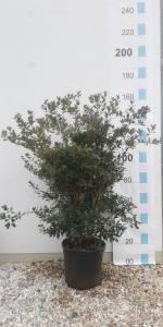 Osmanthus Hetrophyllus  10 LITRE