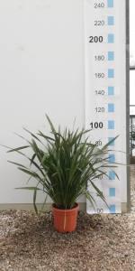 Phormium Tenax  80 - 100cm  10 LITRE