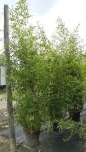 Phyllostachys Aurea   250 - 300cm  30 LITRE