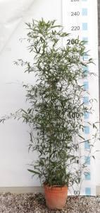 Phyllostachys Humilis   150 - 200cm 12 LITRE