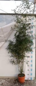 Phyllostachys Humilis   200 - 250cm  18 LITRE