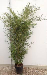 Phyllostachys Nigra Henonis  150 - 200cm  18 LITRE