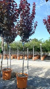 Prunus Cerasifera Pissardii   6 - 8cm 1/2 Std15 LITRE
