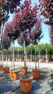 Prunus Cerasifera Pissardii 10-12cm 1/2 Std25 LITRE
