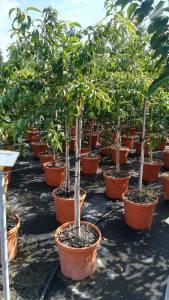 Prunus Kiku-shidare Sakura 10-12cm 1/2 Std25 LITRE
