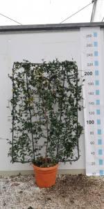 Rhyncospermum Jasminoides 175-120cm Espal55 LITRE
