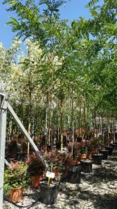 Robinia Pseudoacacia Frisia   8 - 10cm  25 LITRE